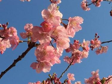 No.4972  早咲きの桜、満開!!・・・2021/3/18