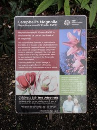 Campbell's Magnolia