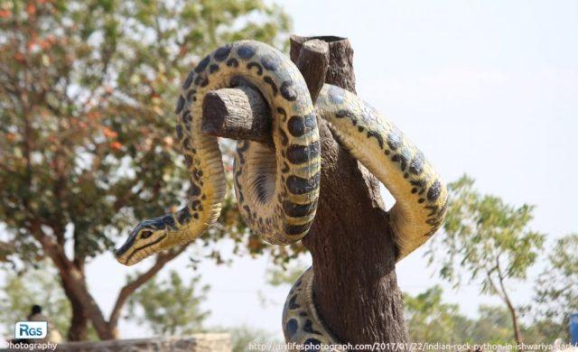 Rock Python in Ishwariya park at Rajkot (India)