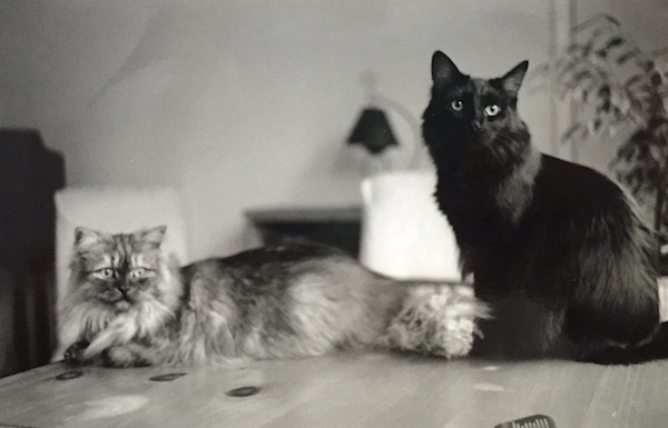 Pushkin (the back cat) and his brother Truman.