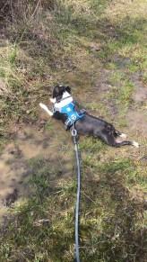 Clover enjoying a mud puddle
