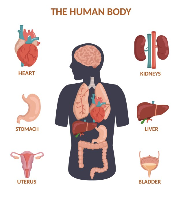 Infographic of human organs anatomy body cartoon and anatomy poster