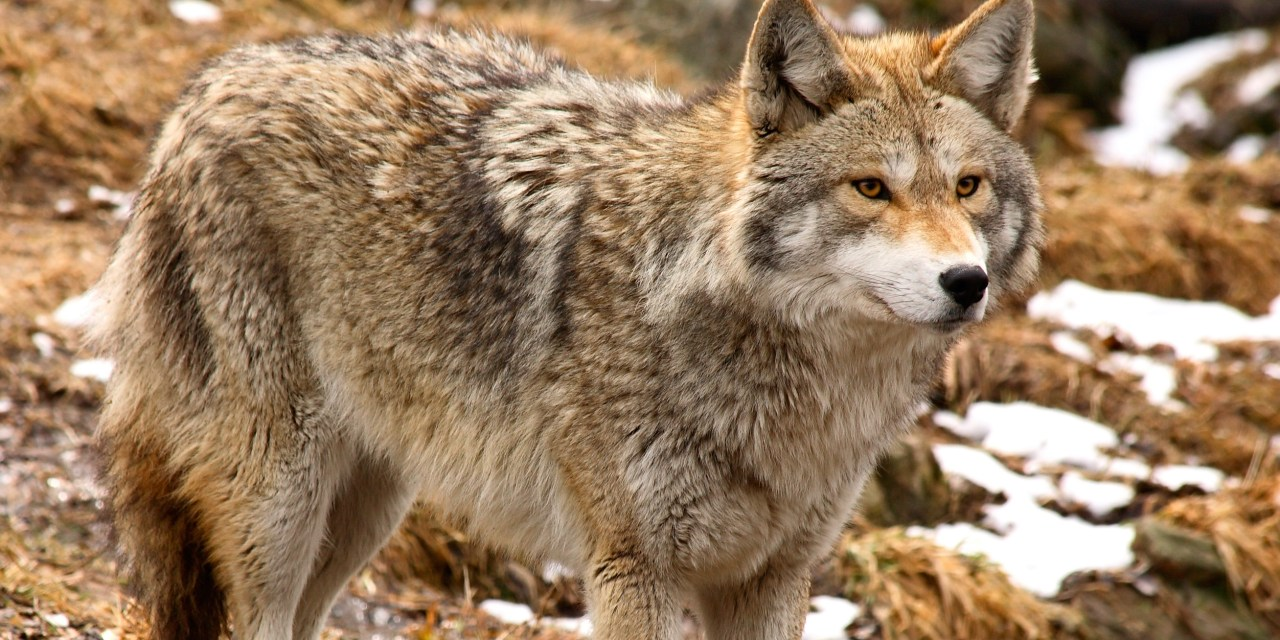 DEC Announces Furbearer Trapping and Hunting Seasons