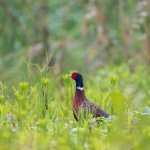 DEC Now Accepting Applications for Sponsored Pheasant Hunt Program