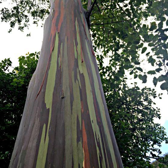 Eucalyptus Tree in Hawaii