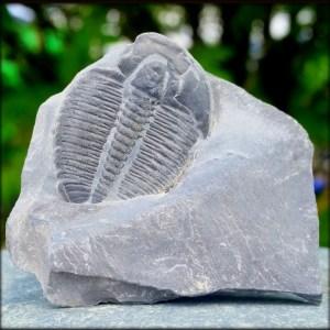 American Trilobites