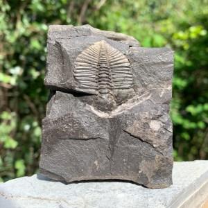 British Trilobites