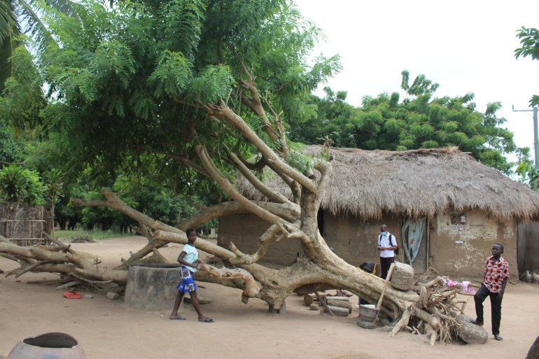 A fallen tree on its side with its roots exposed and foliage on its branches. A village in Agortime Kpetoe Ghana