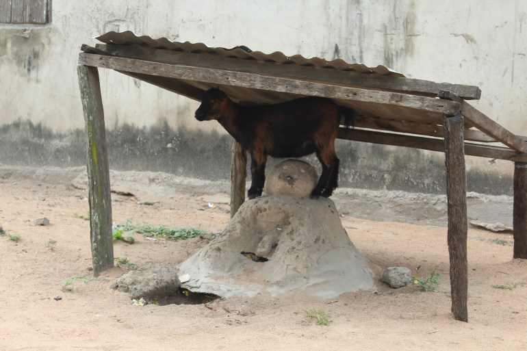 A goat standing on a sacred shrine in a village in Agortime Kpetoe in Ghana