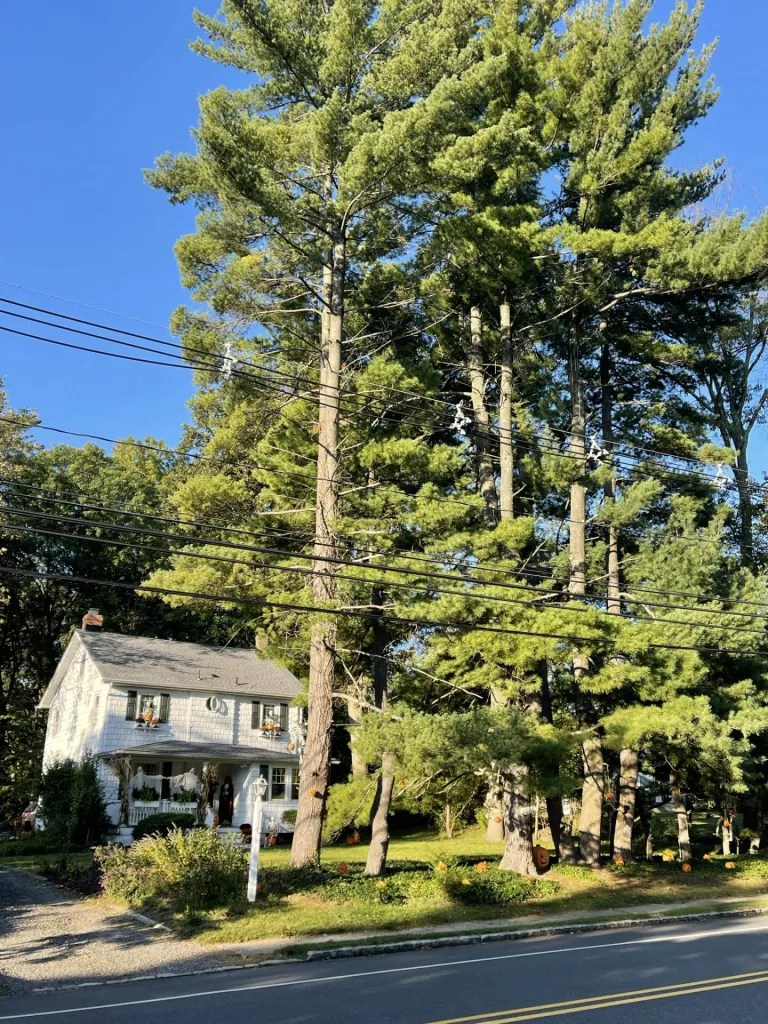 Tall Trees in New Jersey