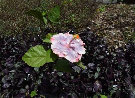 Waimea Beach Park Hibiscus