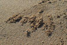 Tiny Sand Crabs