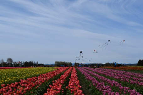 High flying kites at Tulip Town.