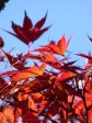 red autumn leaves blue sky