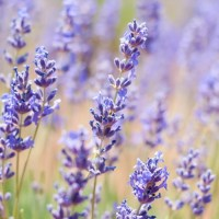 Mini Guide: Culinary Lavender