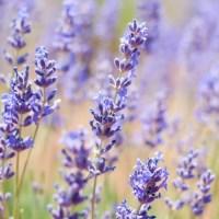 Mini Guide: Culinary Lavender