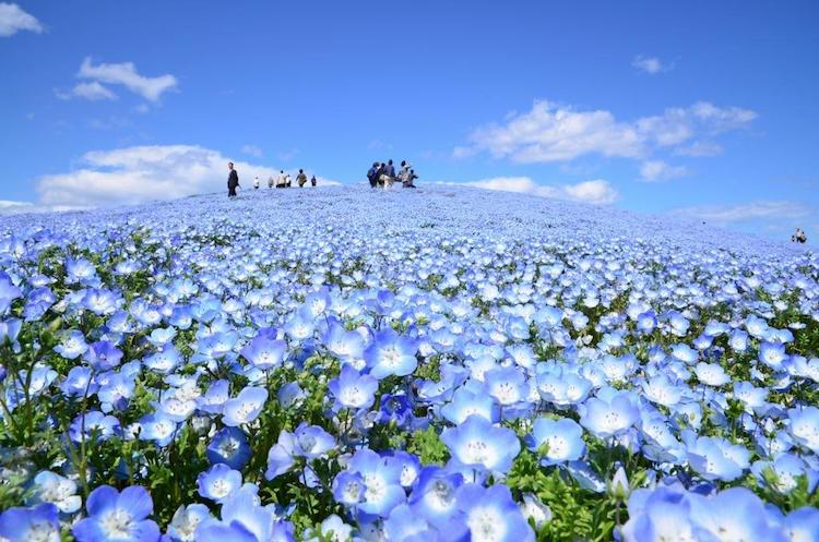 Blue Flowers Bloom in Hitachi Seaside Park in Japan