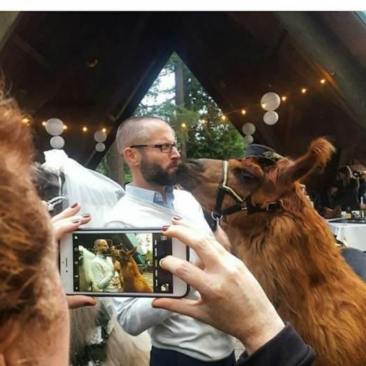 Wedding Llamas Mtn Peaks Therapy Llamas and Alpacas Llama Wedding Wedding Llamas Photography