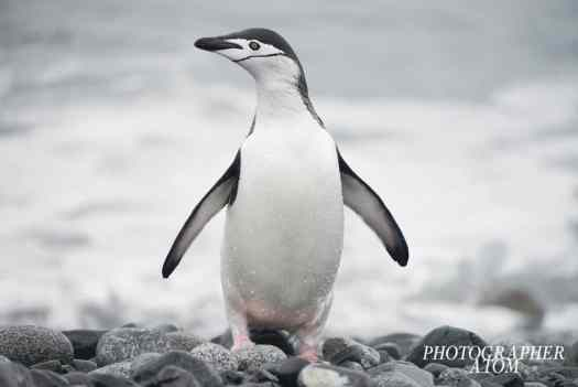 Chinstrap Penguin Picture