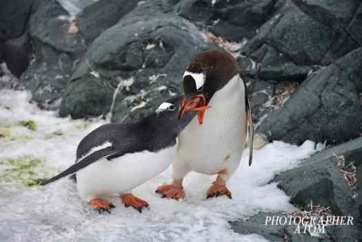 Gentoo Penguin Picture