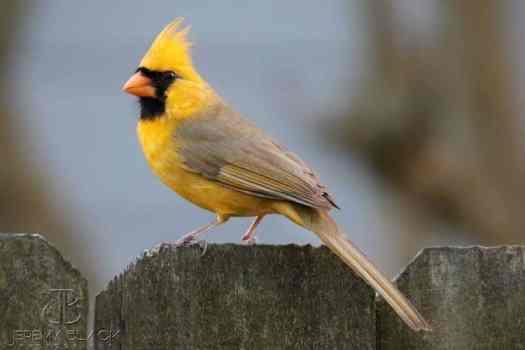 Rare Yellow Cardinal xanthochroism