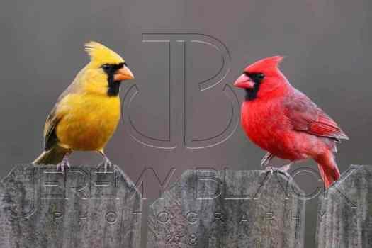 Rare Yellow Cardinal and Red Cardinal Together