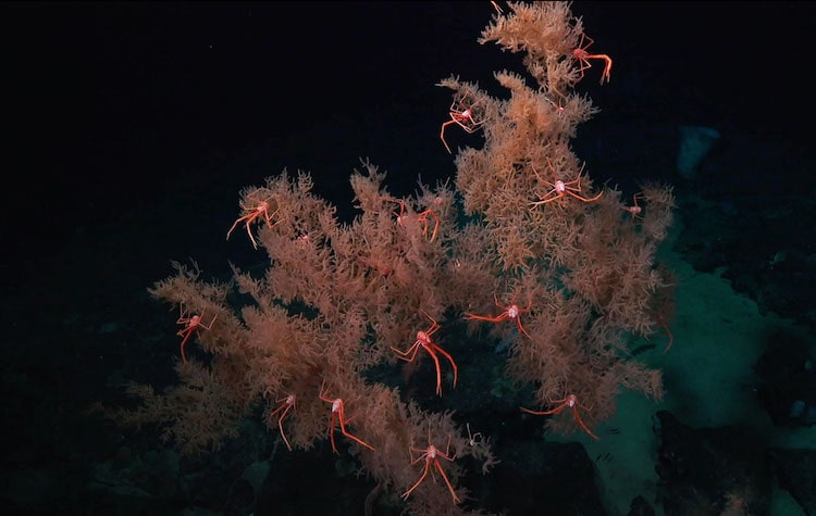 Black Coral Discovered by Schmidt Ocean Institute - Falkor - Deep Sea Research in Costa Rica