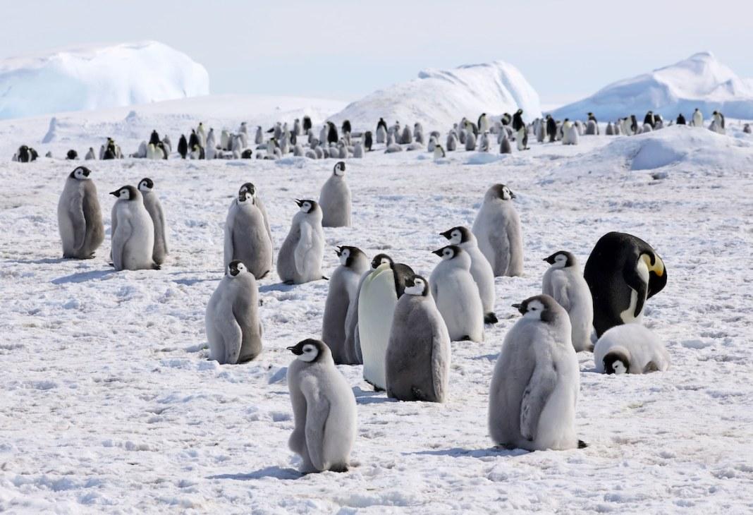 Photo of Emperor Penguins in Antarctica