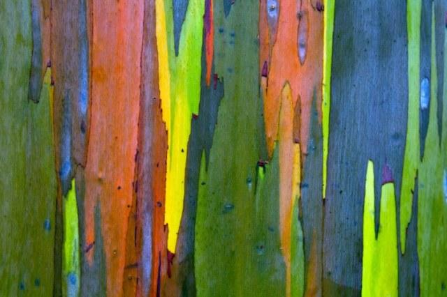 Corteza del eucalipto arcoíris