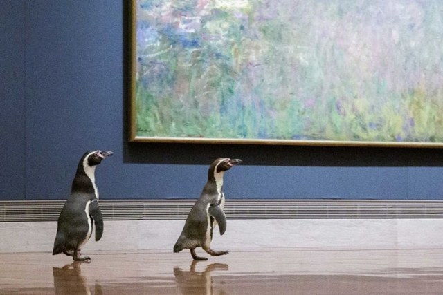 Kansas City Zoo's Penguins Visit Impressionist Gallery