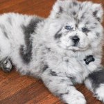 Meet Chief The Chow Puppy Who Looks Like Oreo Ice Cream