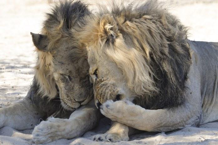 Two lions in the Kalahari desert