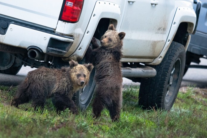 Grizzly Bears at Grand Teton National Park