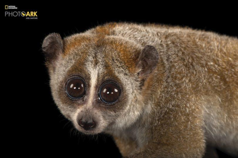 Pygmy Slow Loris at Henry Doorly Zoo and Aquarium