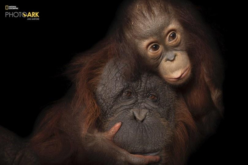 Endangered baby Bornean orangutan with Adoptive Mother at the Houston Zoo