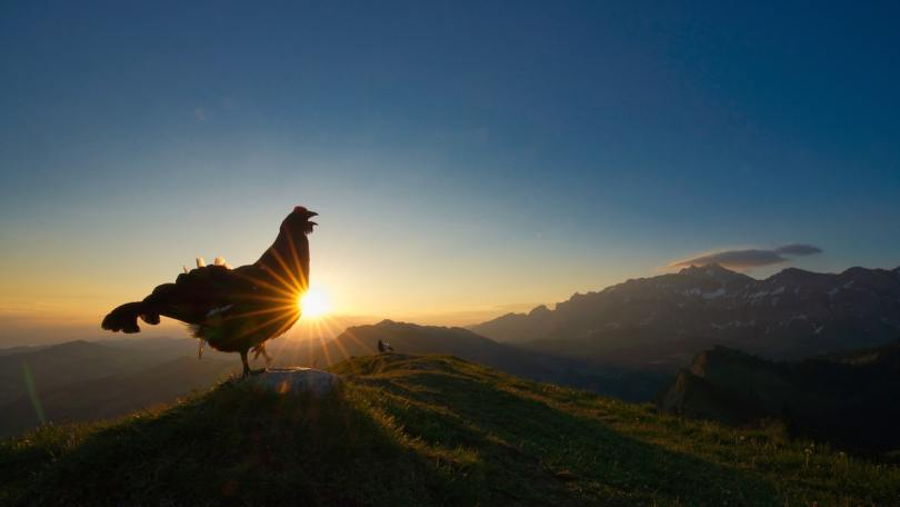 Lekking Black Grouse Standing on Top of the Alps at Dawn