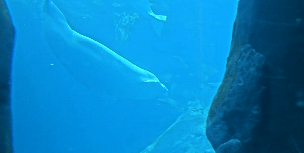 Watch Beluga Whales Live During Coronavirus