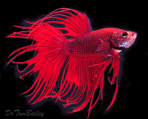 Surprise Mom!  (Beta Fish Photo by Dr. Tom Bailey)