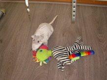 Zebra versus Rat, nou die rat is er nog, soms heel soms, maar niet slepend of erin bijtend.