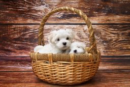 A couple of cute puppies in a wicker basket.