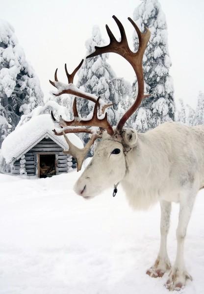 renne-male-du-pere-noel-pello-laponie-finlande-416x600