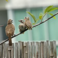 Yellow-vented Bulbul juveniles visit our home!