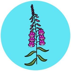 rosebay willow herb
