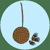london plane seeds