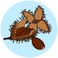 identifying beech nuts and seeds
