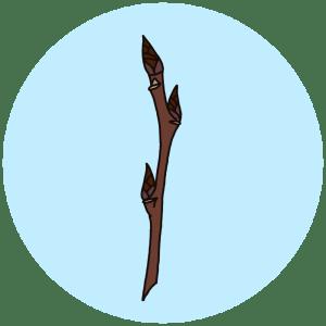 aspen buds