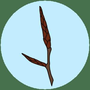 identifying beech buds