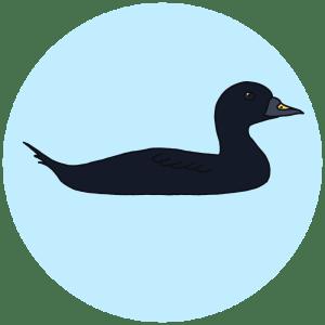 common scoter