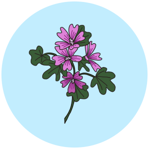 mallow, wild flowers field guides