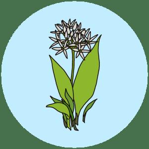 ramsons, spring flowers